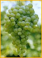 Grillo white wine variety