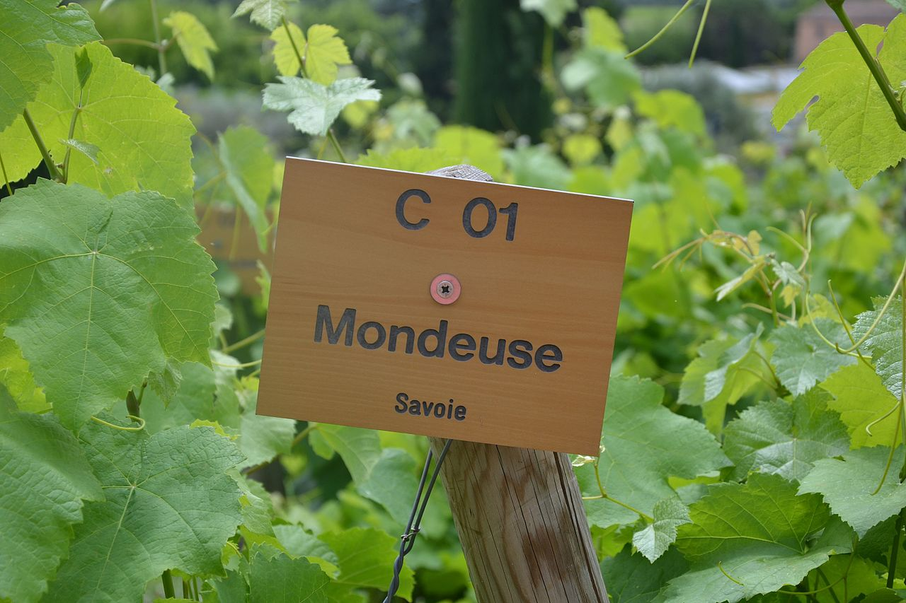 Mondeuse wine grape variety