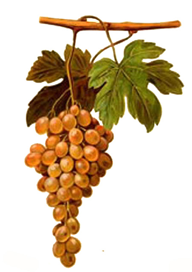 Pedro Ximenez grapes.  Used to make sweet fortified wines and also dry white wines in Andalusia and around the world.