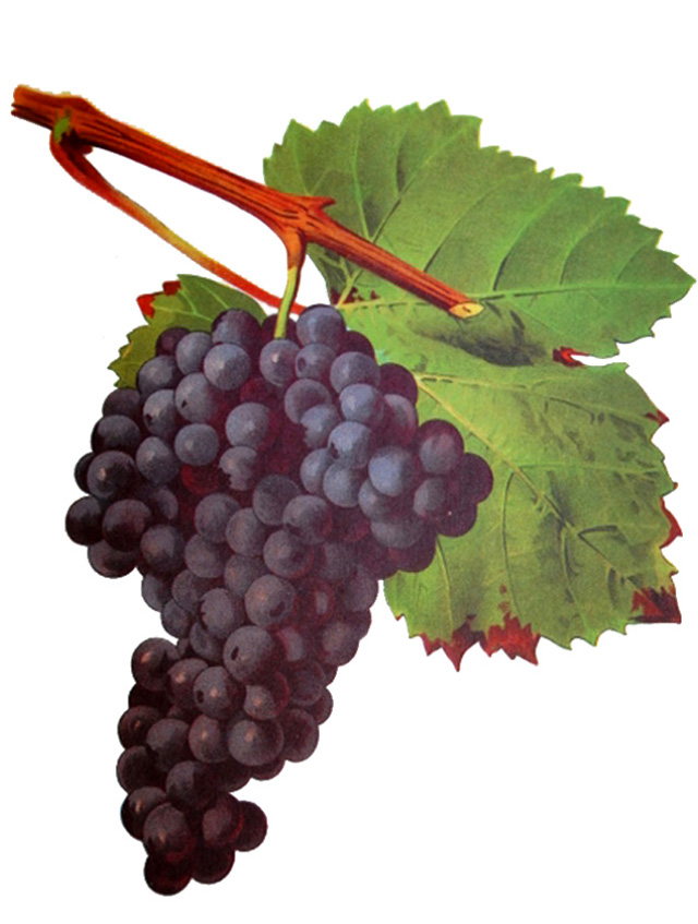 Tannat Red Wine Variety