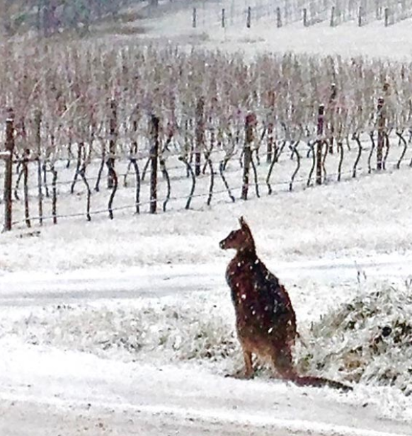 kangaroo in Tertini vineyard in the snow