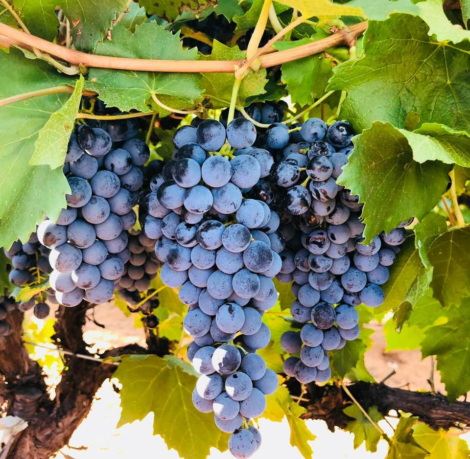 Lagrein Grapes at Bassham winery ready for vintage