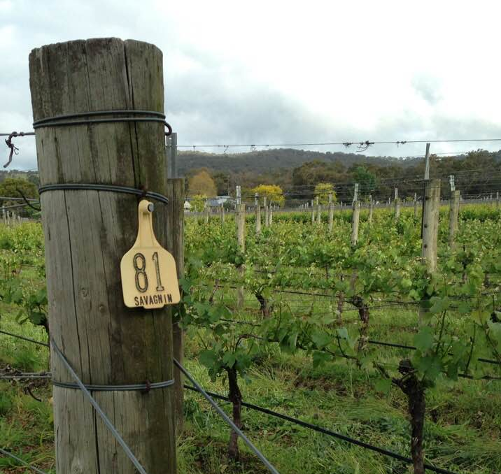 Savagnin Vines at Crittenden Estate in The Mornington Peninsula