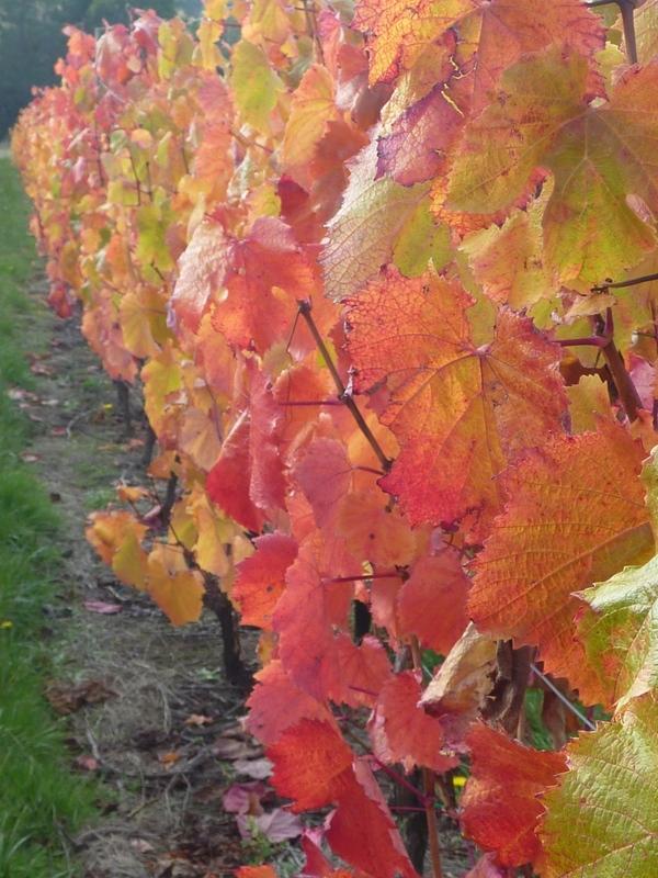 Malbec vines growing at Grey Sands in Northern Tasmania.