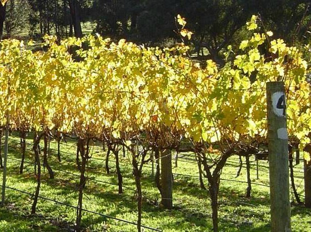 Vines at Mandalay Road in the Geographe Region