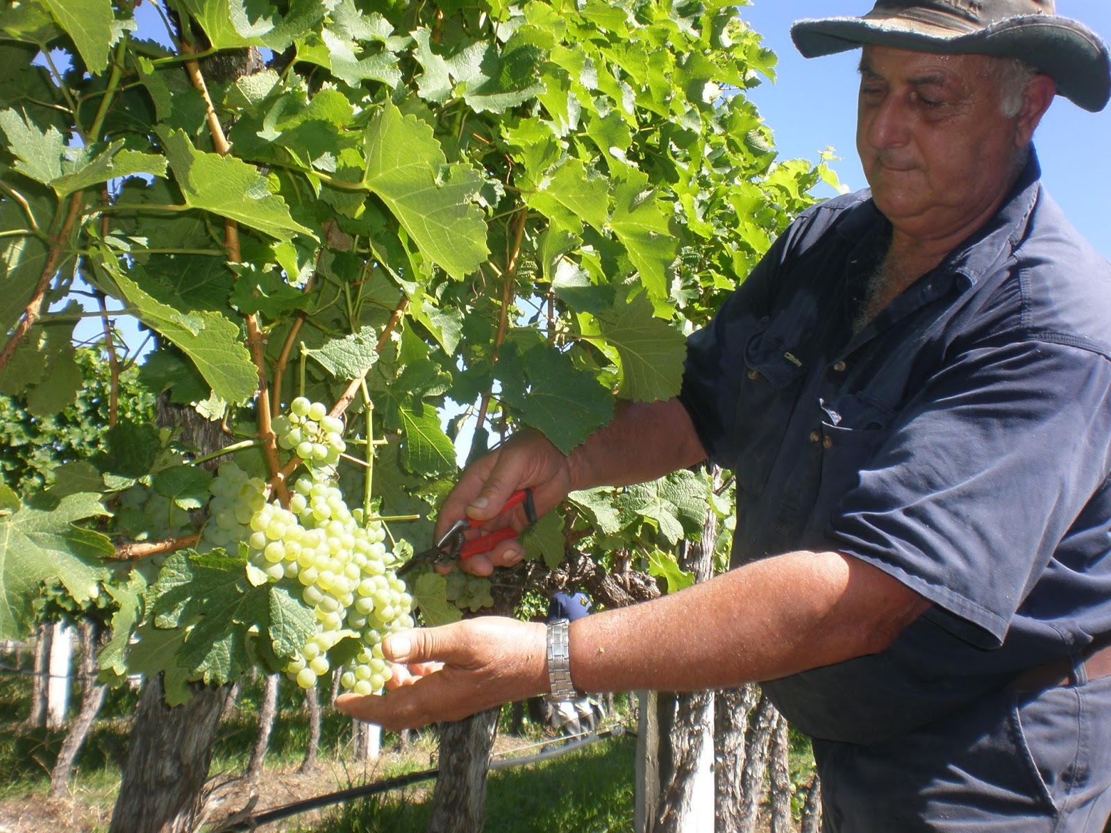 Angelo Puglisi shows off some of his special variety Fiano at Balllandean Estate in the Granite Belt