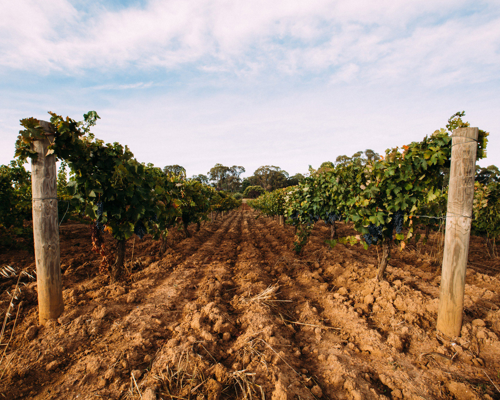 Red soil in Beechworth vineyard.