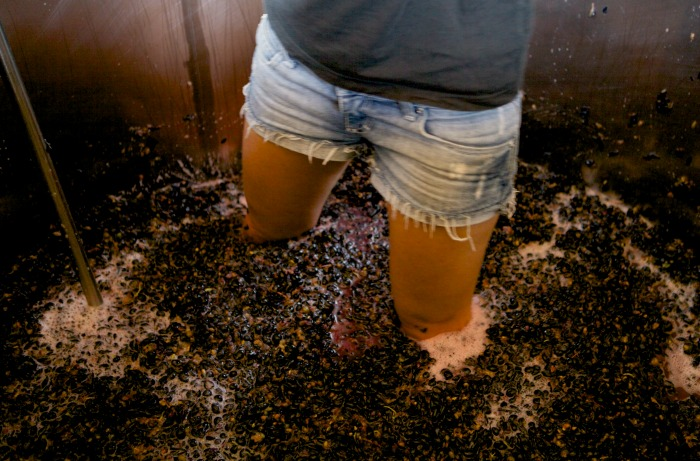 Tempranillo Grapes being crushed in Victoria's Alpine Valleys Wine Region