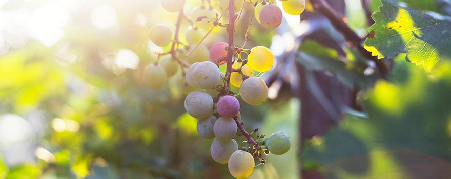 Pinot Gris/grigio grapes
