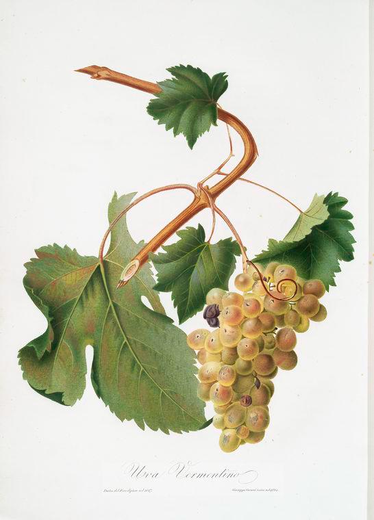 Vermentino wine variety