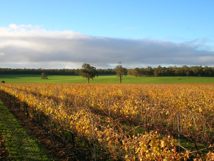 Autumn colours of vines at Wild Orchid Wines in the Blackwood Valley