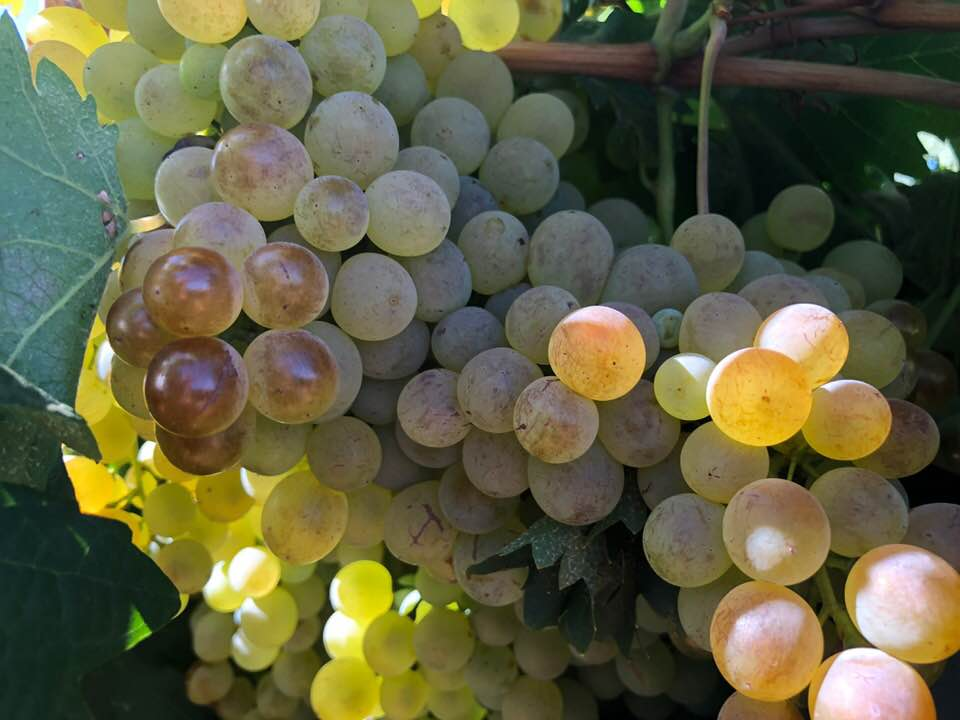 Arinto Grapes- the first vintage at Bassham Wines in the Riverland