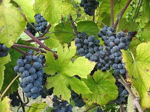 Norton Wine grape variety