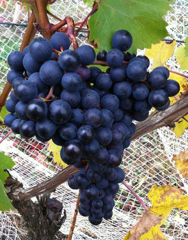 Dolcetto grapes