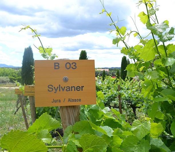 Sylvaner White Wine Variety