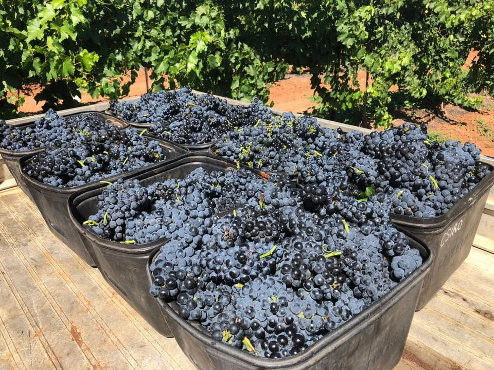 The first vintage of Mencia grapes at Bassham Wines in the Riverland Region of South Australia