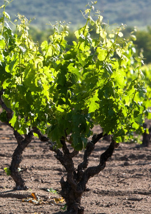 Carignan vineyard trained into Bush vines