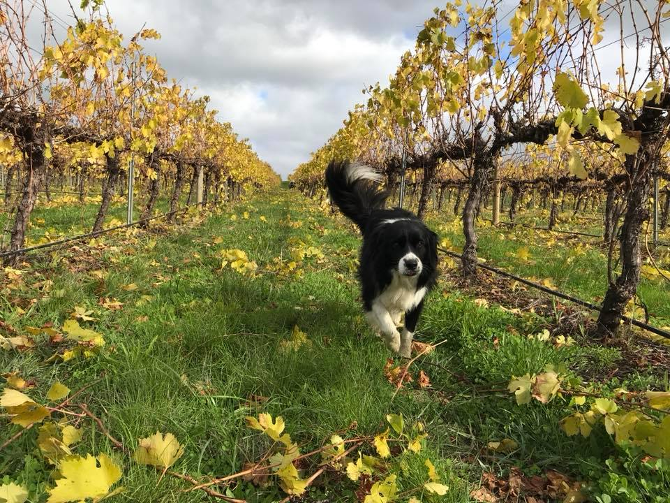 Autumn colours at Golding Wines in the Adelaide Hills Wine Region