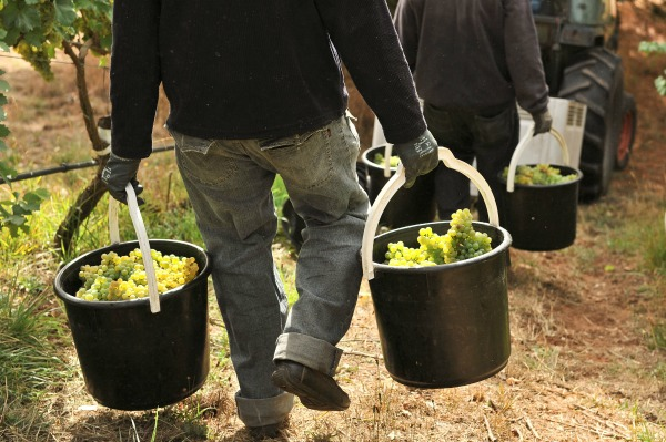 Hand harvested Gruner Veltliner on its way to the winery. Image courtesy Hahndorf Hill Winery
