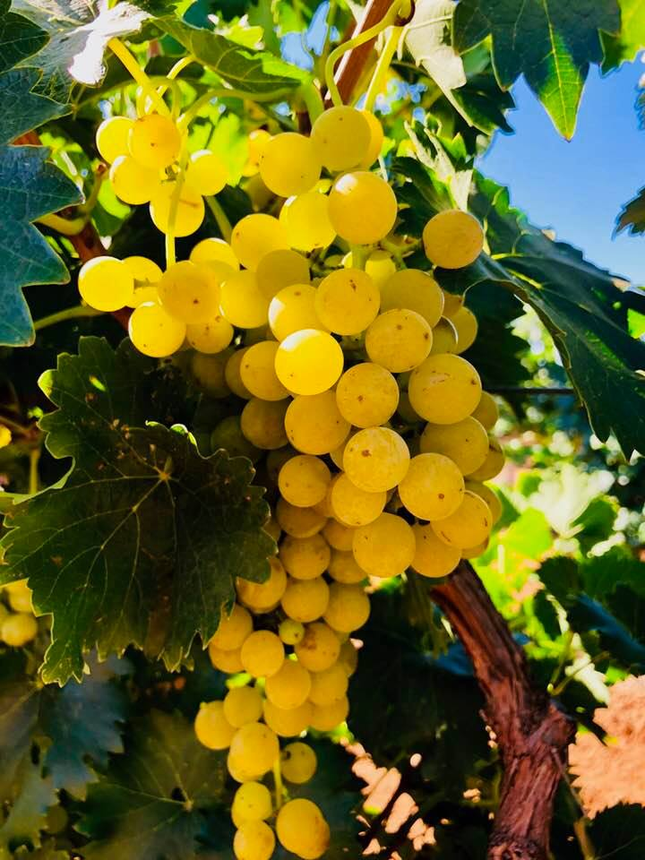 Moscato Giallo grapes ready for picking at Bassham Vineyard in the Riverland Wine Region of South Australia.