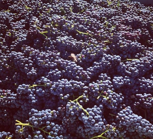 Nebbiolo grapes ready for processing