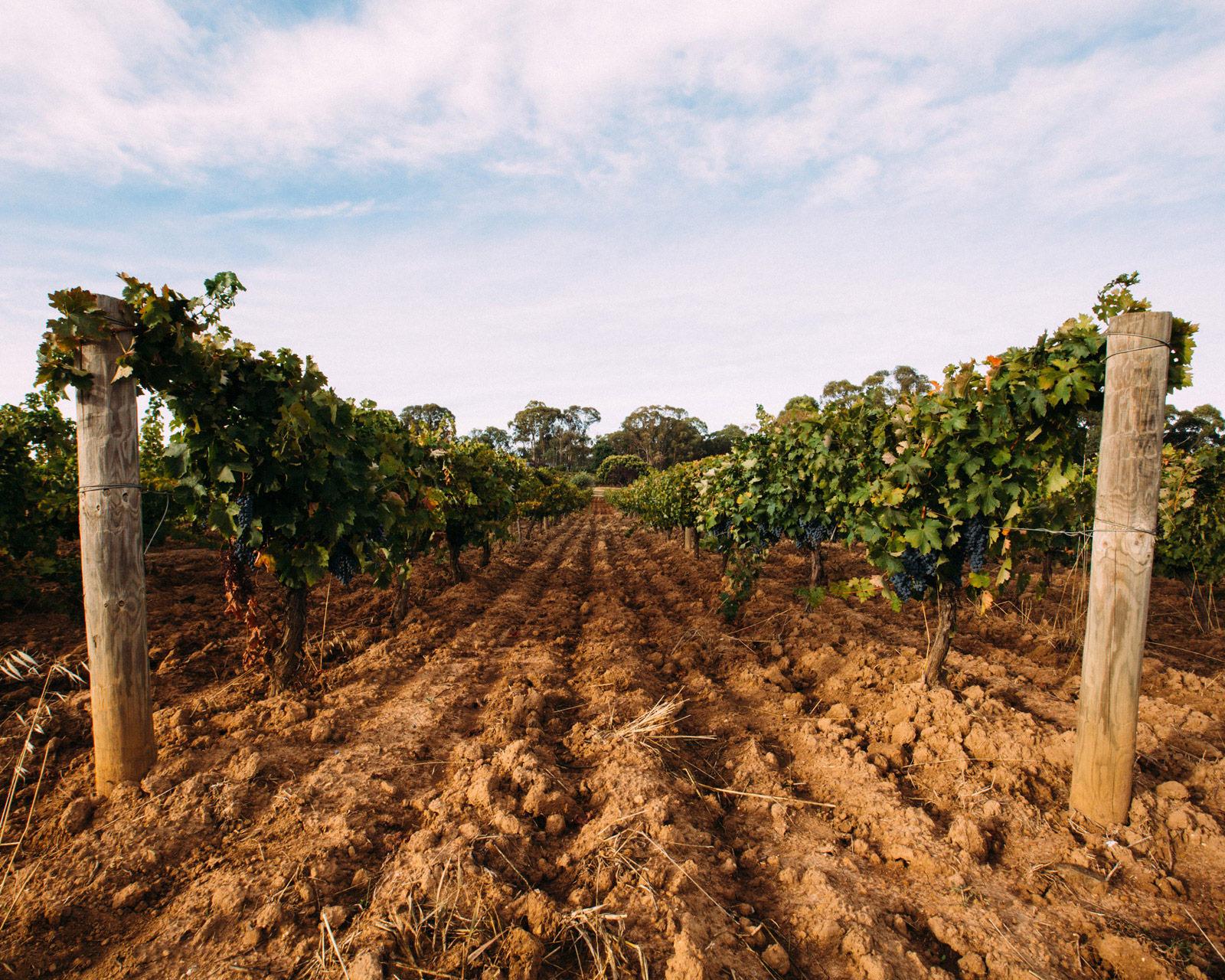Red soil in Beechworth vineyard.