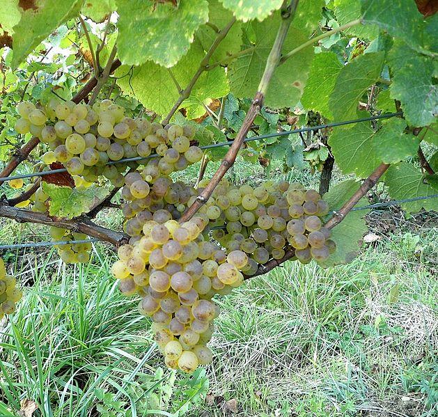 Savagnin white wine in Australia.