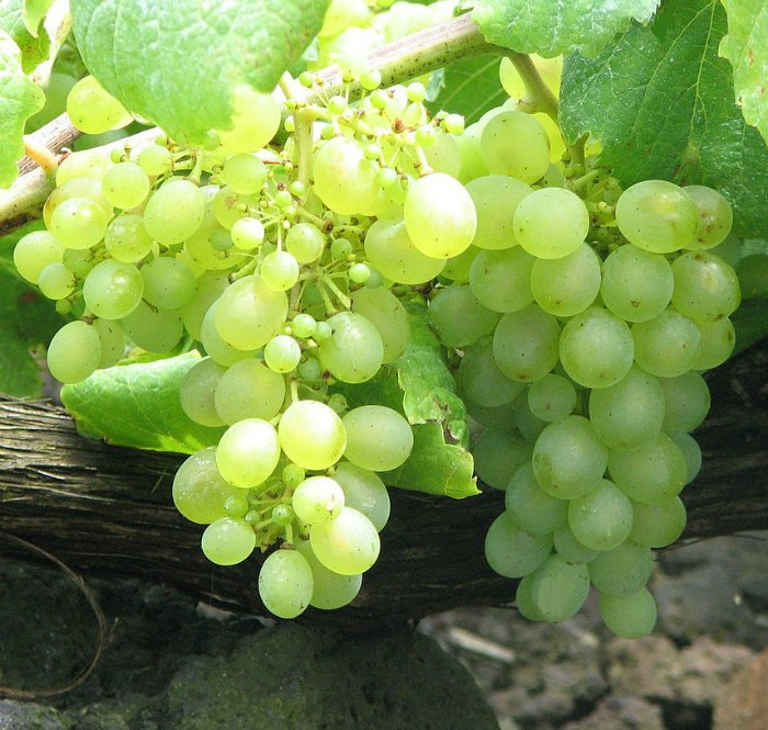 Verdelho grapes