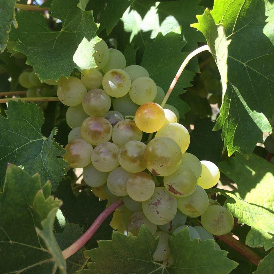 Vermentino grapes.  Image from Wines of Merritt